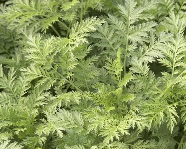 Sweet wormwood plant