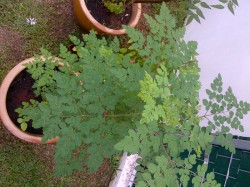Moringa still doing well